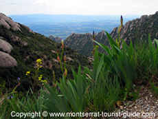 Flowers on the top of Montserrat Mountain at St. Jerome Peak