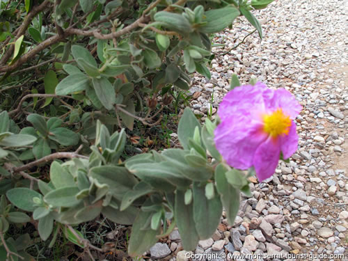 A flower on the Sant Joan pathway